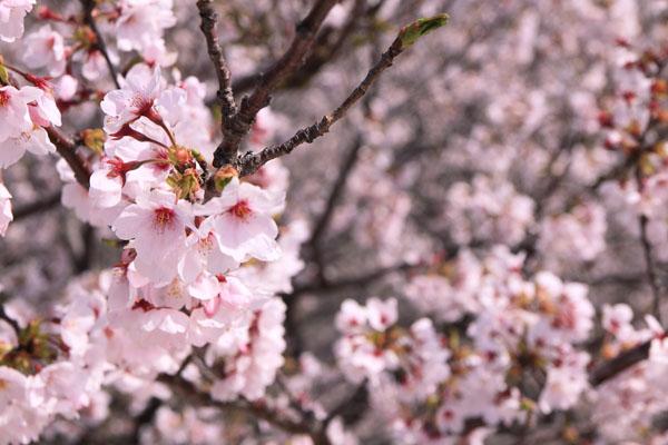 110410-桜-3