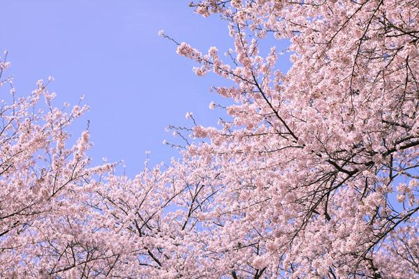 110410-桜-8