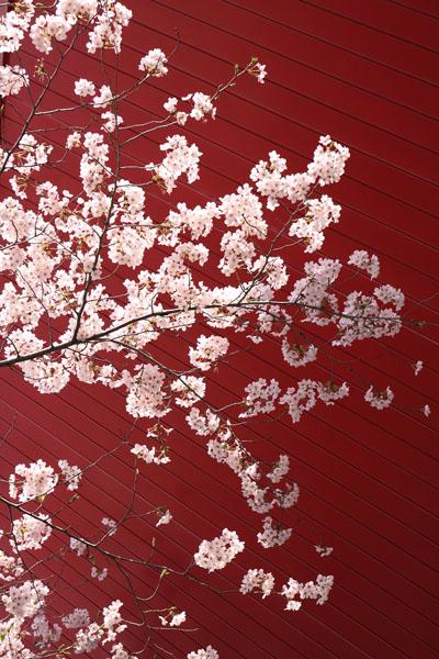 110400-桜-4