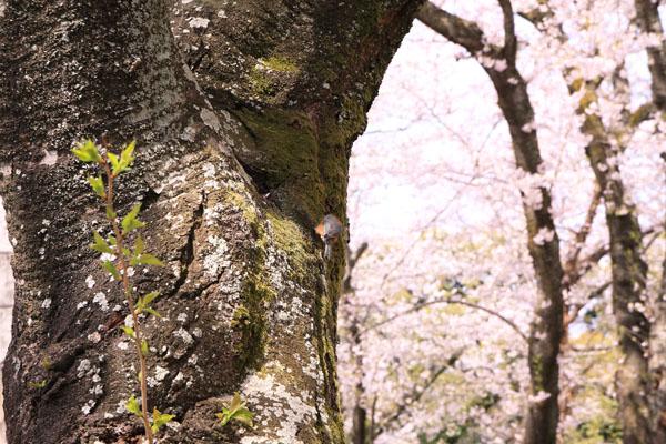 110410-桜-11
