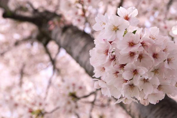 佐奈川桜-5