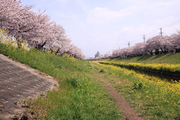 佐奈川桜-8