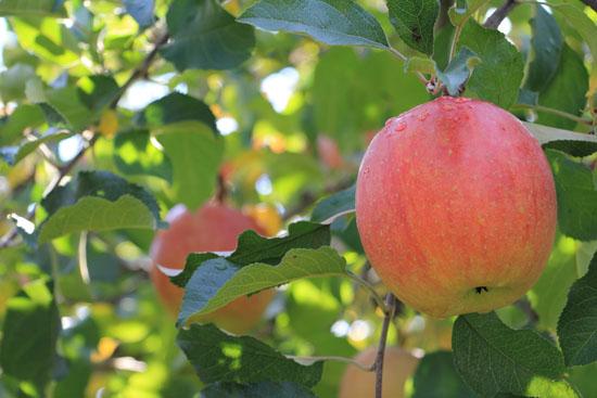 りんご狩り-2