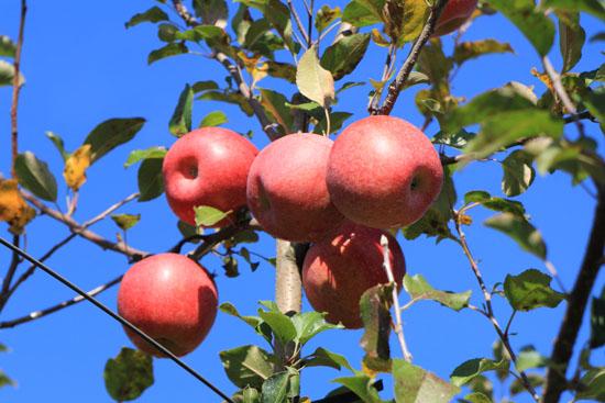 りんご狩り-3