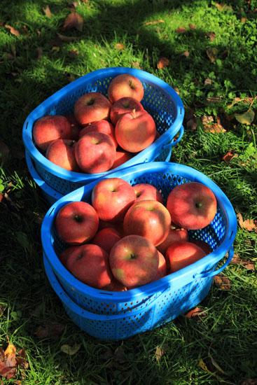 りんご狩り-1