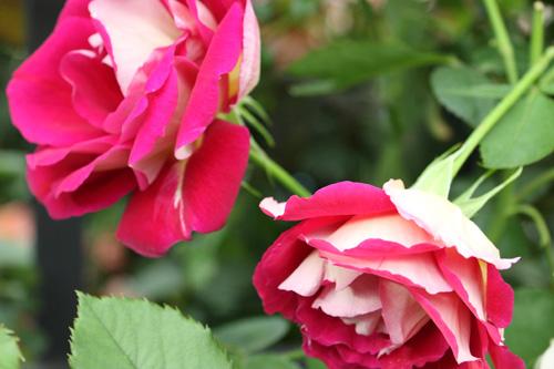 kokubara-rose-1.jpg