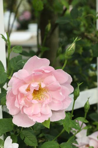 kokubara-rose-13.jpg