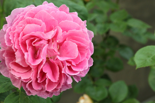 kokubara-rose-14.jpg