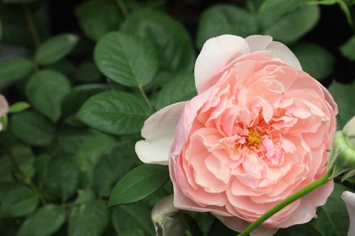 kokubara-rose-15.jpg