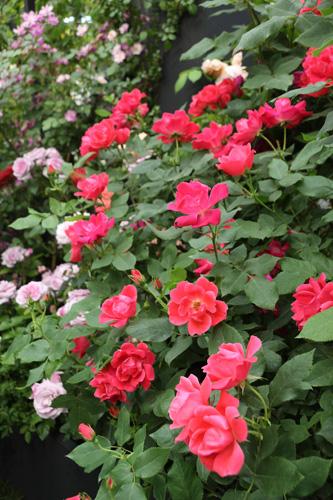kokubara-rose-16.jpg