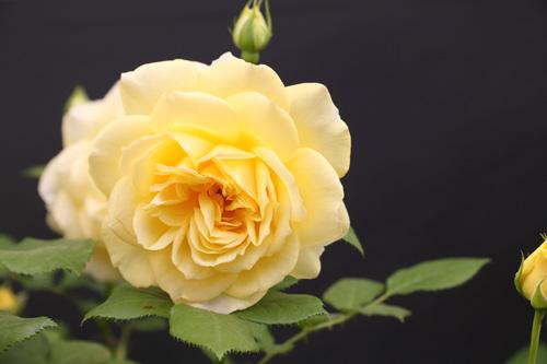 kokubara-rose-17.jpg