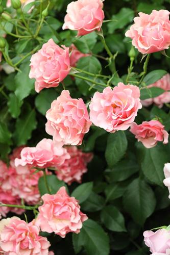 kokubara-rose-2.jpg