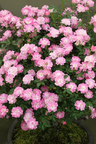 kokubara-rose-20.jpg