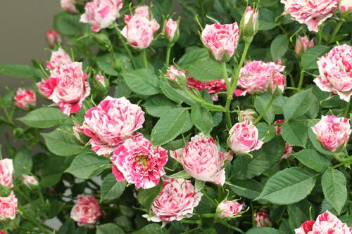 kokubara-rose-23.jpg