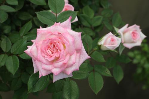 kokubara-rose-24.jpg