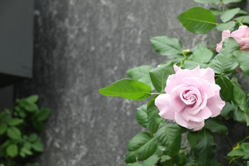 kokubara-rose-3.jpg