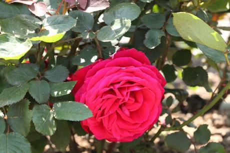 nishio-rose-3.jpg