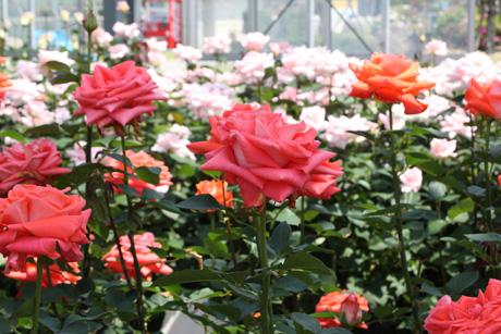 onshitu-rose.jpg