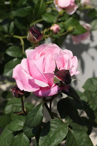 rose-100516-1.jpg