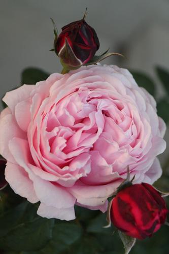 rose-100517-1.jpg