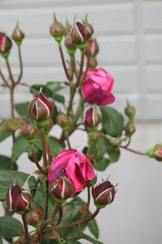 rose-100518-1.jpg