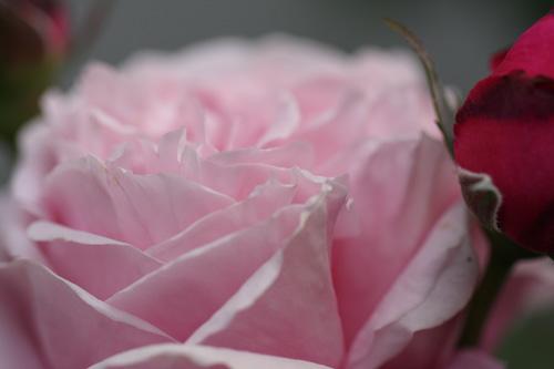 rose-100518-3.jpg