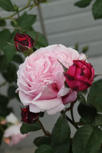 rose-100518-5.jpg