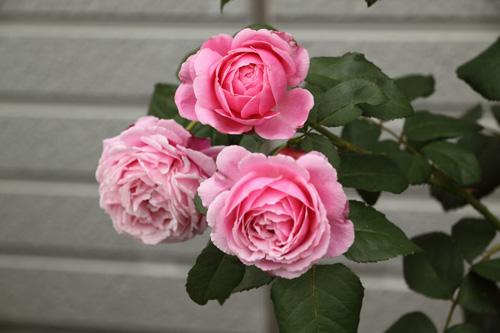 rose-100703-1.jpg