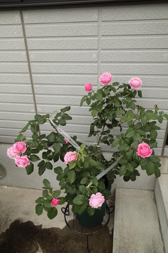 rose-100703.jpg