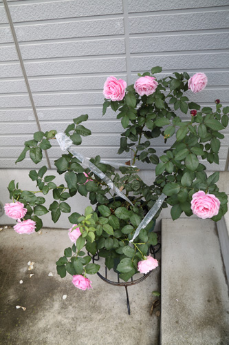 rose-100704-1.jpg