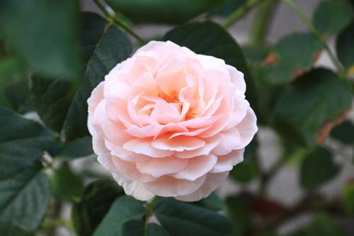 rose-100816-2.jpg