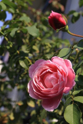 rose-101005-1.jpg