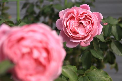 rose-101015-1.jpg