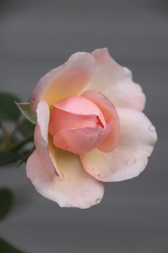 rose-101015-2.jpg