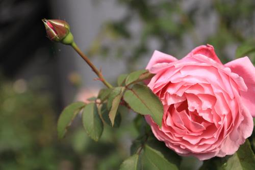 rose-101015-3.jpg