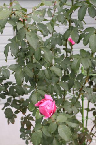 rose-101107-3.jpg