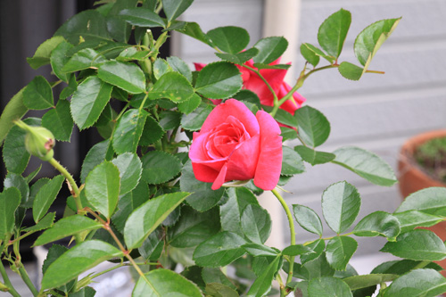rose-101107-4.jpg