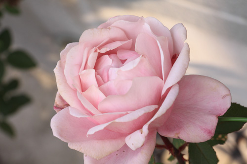 rose-101113-1.jpg
