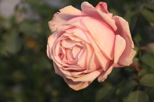 rose-101113-2.jpg