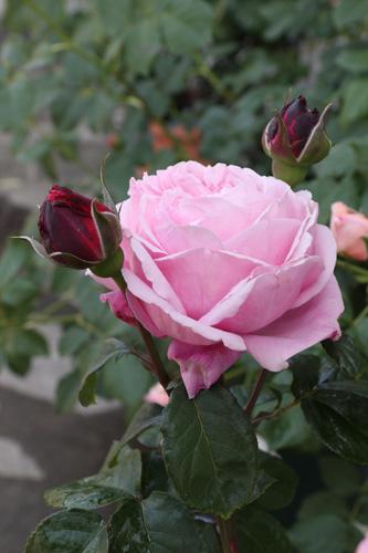 rose-101517-2.jpg