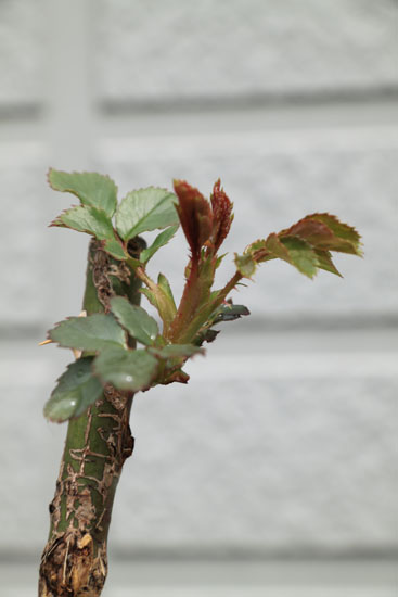 rose-110306-6.jpg