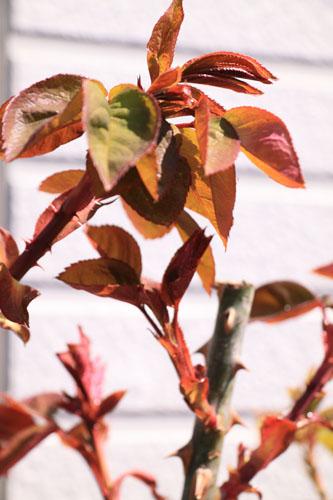 rose-110319-2.jpg