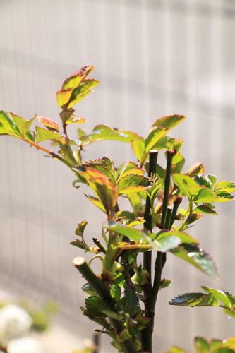 rose-110319-6.jpg