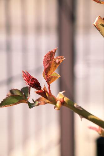 rose-110319-7.jpg