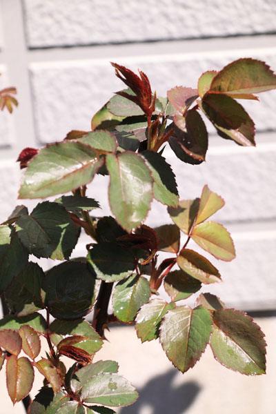 rose-110329-3.jpg