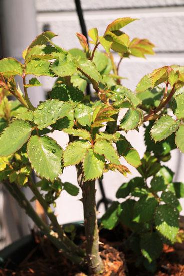 rose-110329-4.jpg