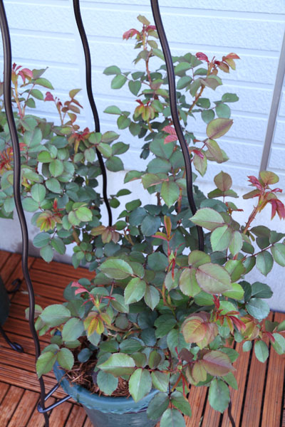 rose-110412-1.jpg