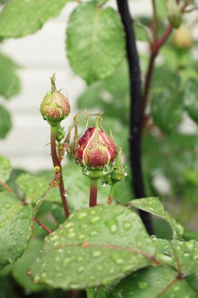 rose-110501-2.jpg
