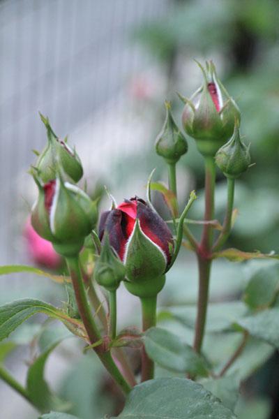 rose-110509-2.jpg