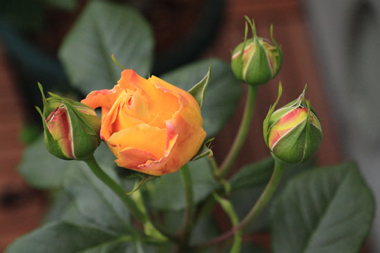 rose-110509-3.jpg